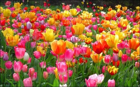 Tulips-tulips-28594078-1920-1200-1152x720